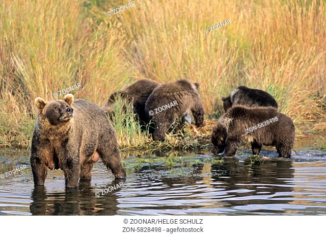 Grizzlybaerin steht mit ihren Jungen am Ufer des Brooks River - (Braunbaer) / Grizzly Bear sow standing with her cubs at riverside of Brooks River - (Grizzly -...