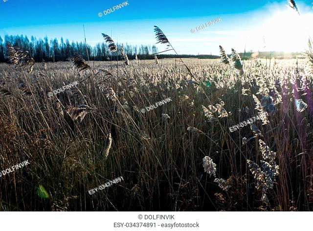 Goldish Reeds at sunset near sea and swamp