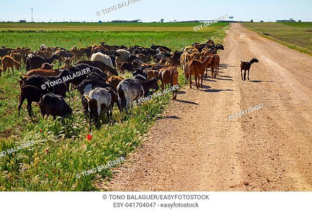 Goats and sheeps flock in Castile La Mancha of Spain Albacete