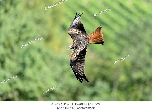Red Kite (Milvus milvus), captive, Germany