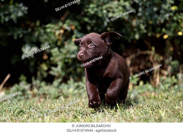 Labrador Retriever, Chocolate Labrador. Brown puppy (7 weeks old) running on a meadow. Germany