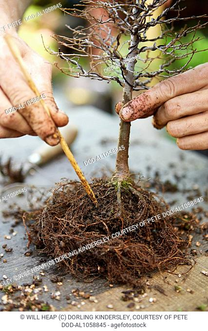 Removing soil from bonsai Zelkova and teasing out roots