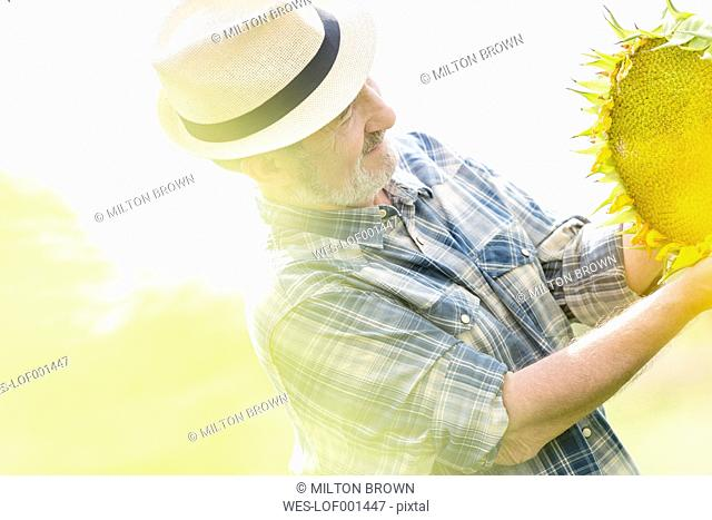 Farmer examining sunflower