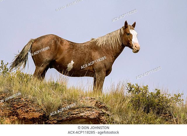 Feral horse (Equus ferus) or (Equus ferus caballus), Theodore Roosevelt NP (South Unit), North Dakota, USA