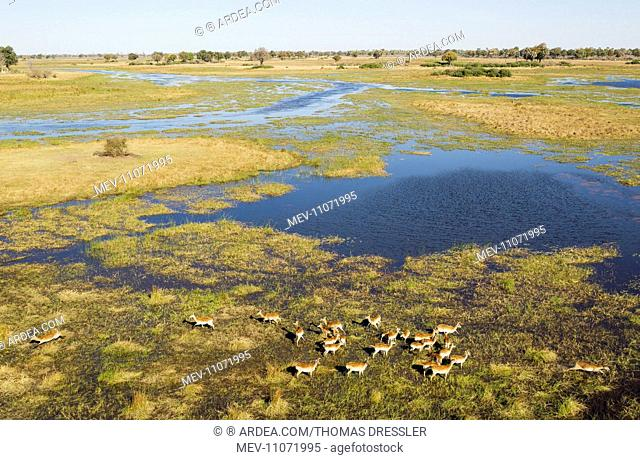 Red Lechwe herd in the freshwater marshland at the Gomoti River aerial view - Okavango Delta, Moremi Game Reserve, Botswana