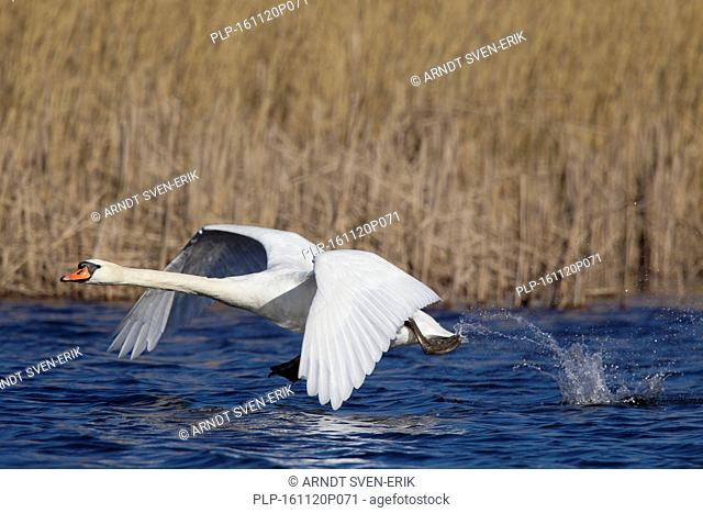 Mute swan (Cygnus olor) male taking off from lake in spring