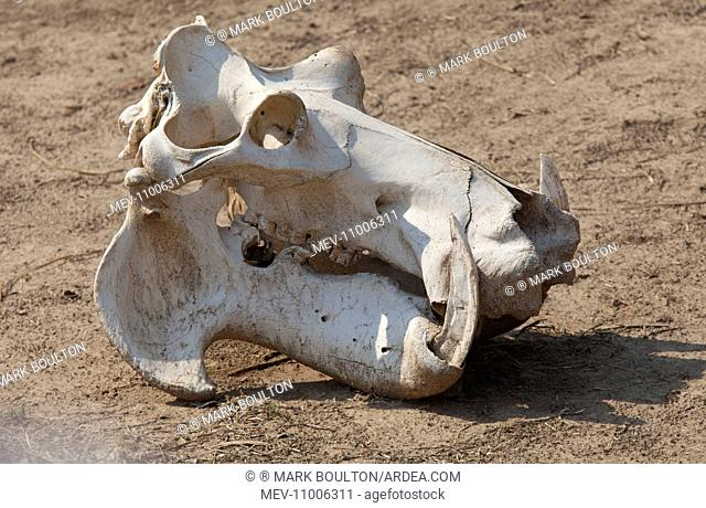 Hippopotamus Skull of hippo South Luangwa National Park, Zambia (Hippopotamus amphibius)