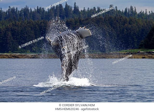 United States, Alaska, Frederick Sound, Humpback whale Megaptera novaeangliae, breach, breaching, the whale is leaping into the air