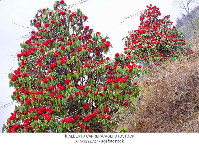 Flowring Rhododendron, Mountain Footpath, Trek to Annapurna Base Camp, Annapurna Conservation Area, Himalaya, Nepal, Asia
