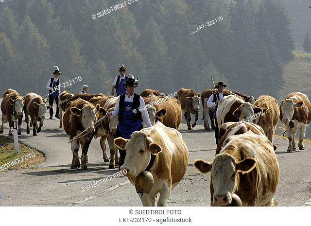Cows and dairy farmers returning to the valley from the alpine pastures, Seiser Alm, South Tyrol, Italy