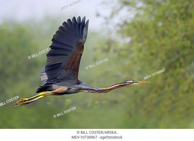 Purple Heron - In flight (Ardea purpurea)