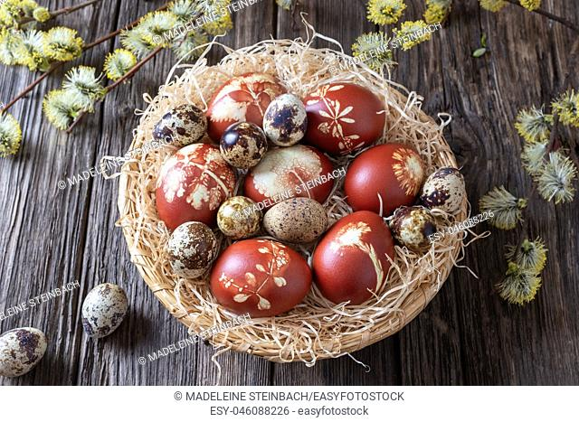 Quail and Easter eggs dyed with onion peels in a wicker basket, with willow catkins