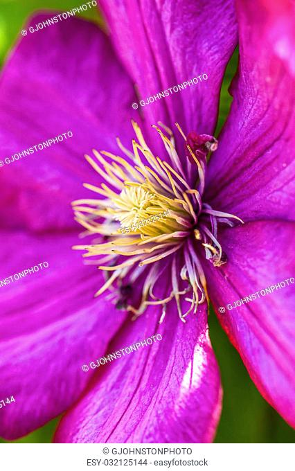 A close up image of a beautiful purple nelly moser clematis flower