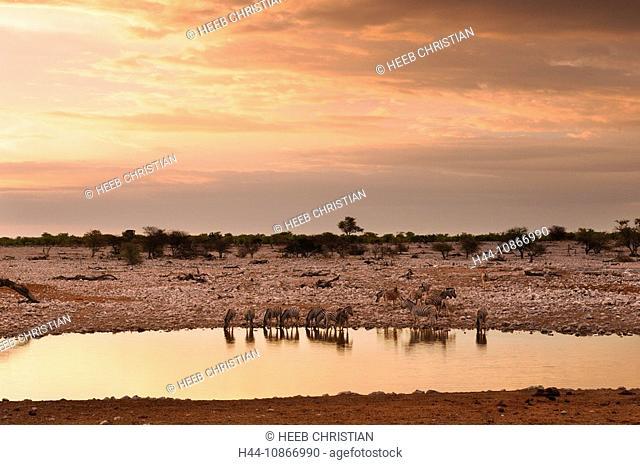 zebra, animals, animals, Equus burchelli, Okaukuejo water hole, Etosha, National Park, Kunene Region, Namibia, Africa, Travel, Nature