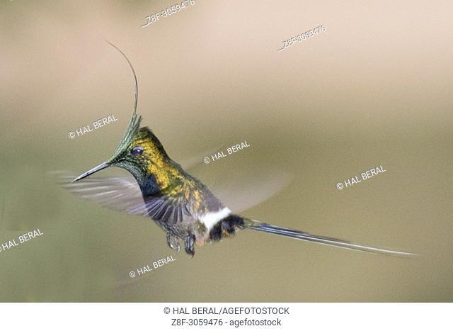 Wire-Crested Thorntail Hummingbird male flying (Discosura popelarii). Ecuador