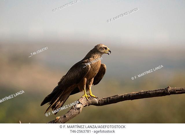 Black kite (Milvus migrans). Sierra del Guadarrama. Madrid province. Spain