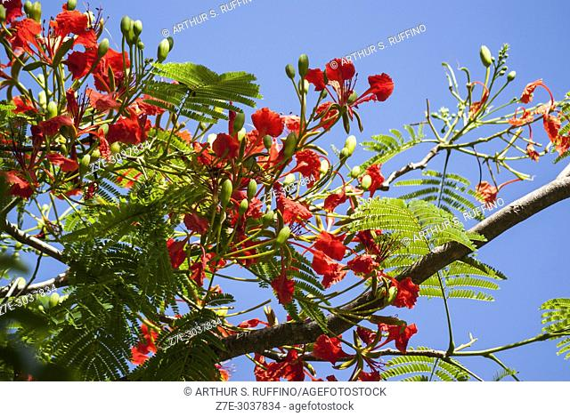Flame tree (flamboyant), (Delonix regia), Victoria Botanical Garden. Mahé, Seychelles