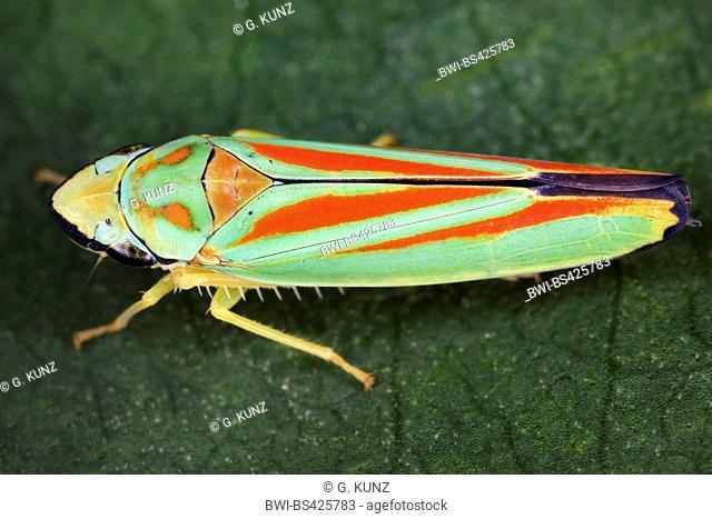 Redbanded leafhopper (Graphocephala coccinea, Graphocephala fennahi), sits on a leaf, Austria
