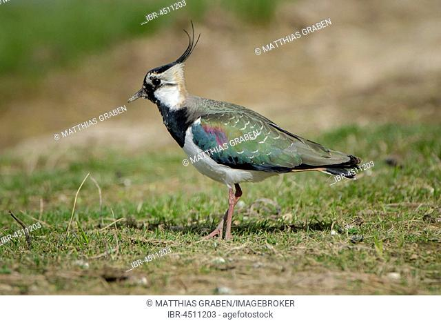 Lapwing (Vanellus vanellus), Cley Marshes, Norfolk, England