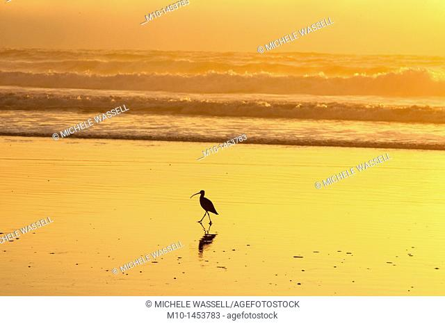 Marbled Godwit at sunset on Morro Bay Strand State Beach