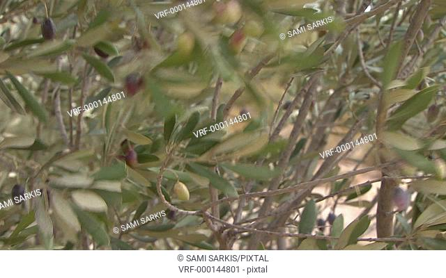 Olives on tree, branches moved by wind, close-up, Provence, France