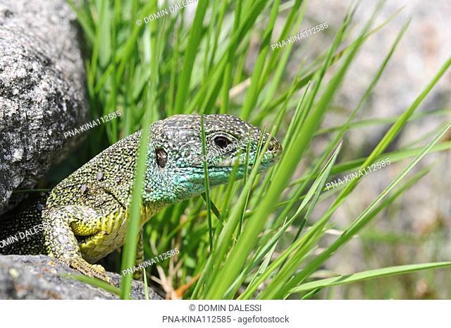 Western Green Lizard Lacerta bilineata - Switzerland, Europe