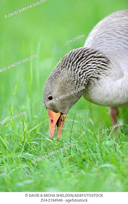 Close-up of a Greylag Goose (Anser anser) in a meadow in spring