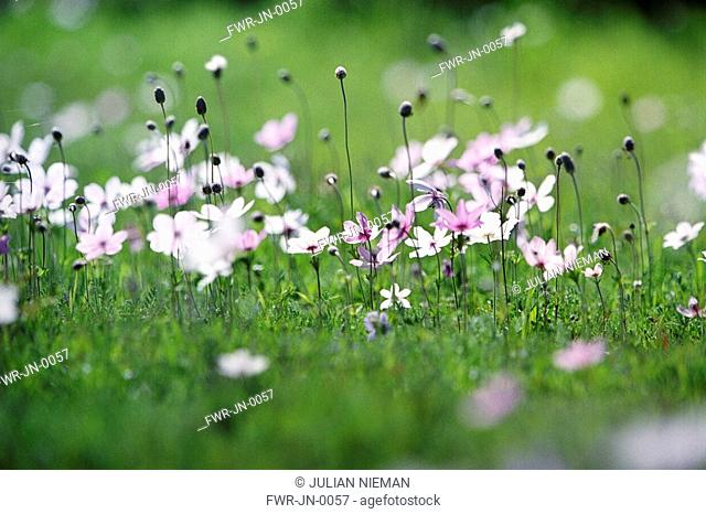 Anemone - variety not identified, Anemone