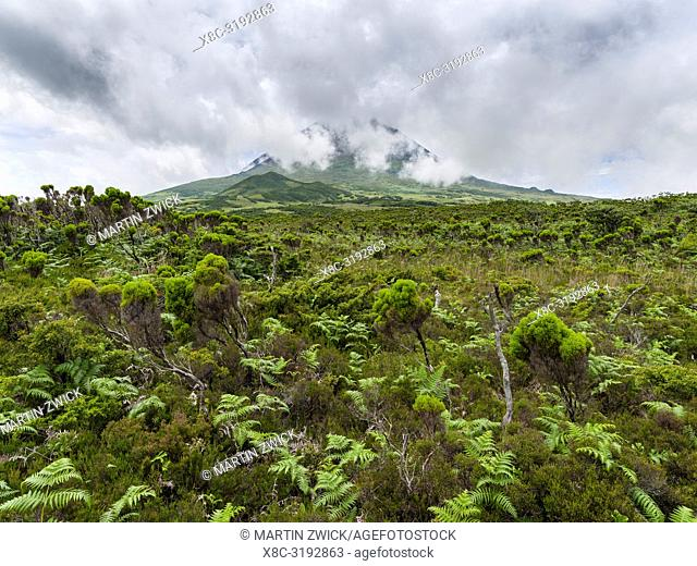 Wetland with endemic vegatation, tree heath (Erica azorica). Pico Island, an island in the Azores (Ilhas dos Acores) in the Atlantic ocean