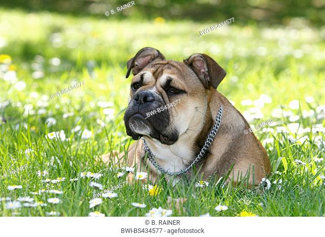 Continental Bulldog (Canis lupus f. familiaris), six month old she dog lying in a meadow with daisies, Germany