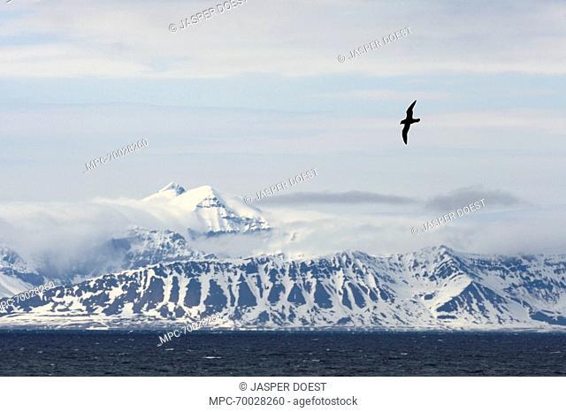 Northern Fulmar (Fulmarus glacialis) flying, Isfjorden, Svalbard, Norway