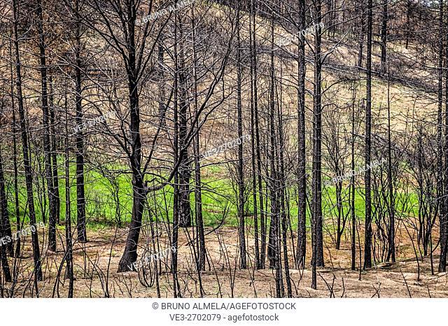 After a wildfire near Checa, in Alto Tajo Natural Park, (Guadalajara Province, Castilla- La Mancha Region, Spain)