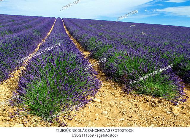 Lavender fields (Lavandula angustifolia), in Puimoisson, Valensole plateau. Digne-les-Bains district, in Alpes de Haute Provence department and...