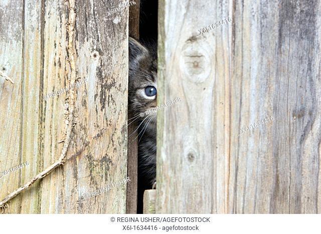 Domestic Cat, Kitten, Peering out of Garden Shed Door Lower Saxony, Germany
