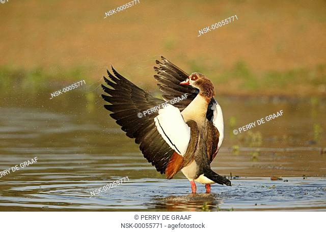 Egyptian Goose (Alopochen aegyptiacus) standing in water, flapping its wings, South Africa, Mpumalanga, Kruger National Park