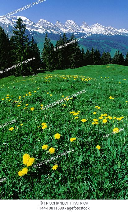 alpine, Alps, broadness, cheers, Churfirsten, dandelion, east Switzerland, Europe, flora, flower, flowers, Gamplut