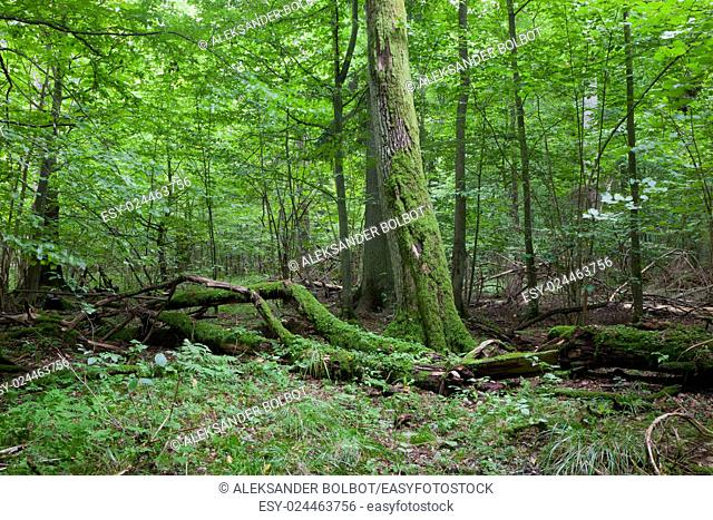Fresh deciduous stand of Bialowieza Forest in summertime with dead broken oak in foreground moss wrapped,Bialowieza Forest,Poland,Europe