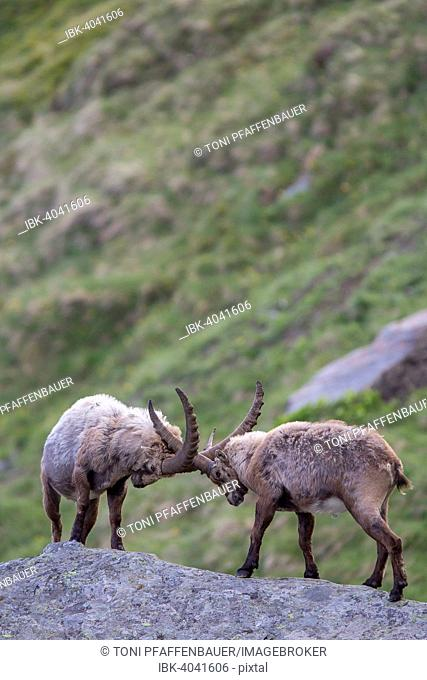 Alpine ibexes (Capra ibex) in a duel, High Tauern National Park, Austria