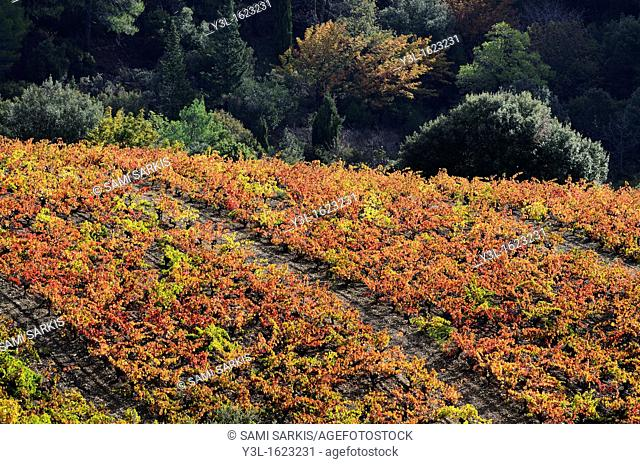 Vineyards with fall foliage, AOC Faugeres, Herault, France