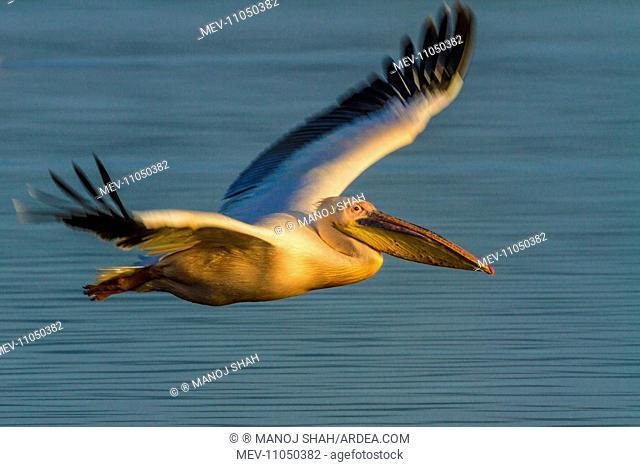 Rosy / Great / Eastern White Pelican in flight Lake Nakuru National Park, Kenya
