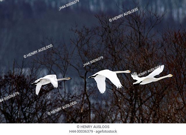 Whooper swan (Cygnus cygnus) young, take off, Japan