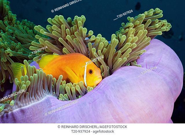 Maldives Anemonefish in Magnificent Anemone, Amphiprion nigripes, Heteractis magnifica, North Ari Atoll, Maldives