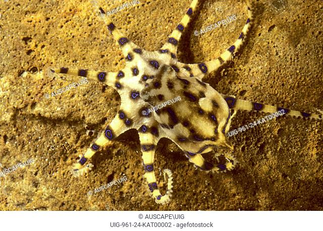 Southern blue-ringed octopus, Hapalochlaena maculosa, Sydney, New South Wales, Australia