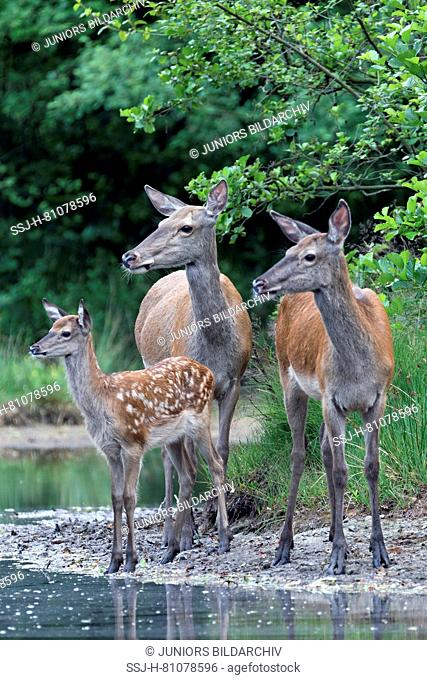 Red Deer (Cervus elaphus). Two hinds and a calf standing on the edge of a pond. Germany