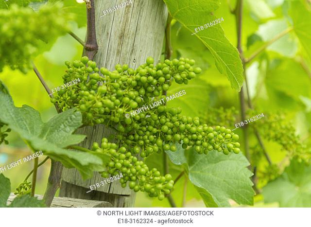 Canada, BC, Penticton. Narramata Bench. Fresh young grapes newly formed on the vine, in vineyard