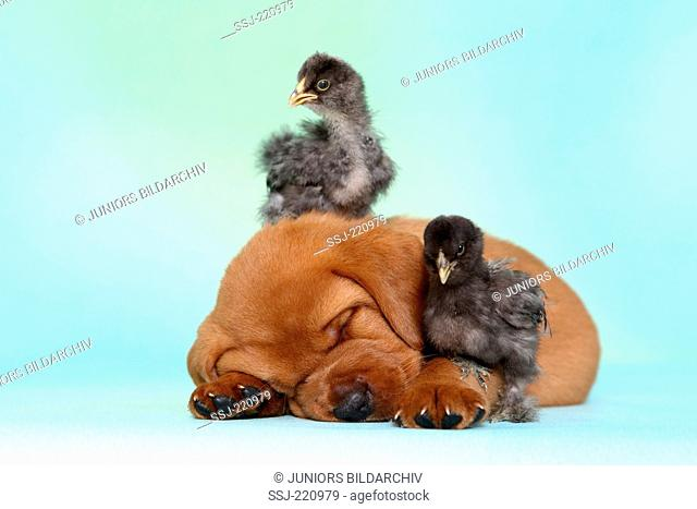 Labrador Retriever. Puppy (5 weeks old) with a two chicks, sleeping. Germany. Studio picture seen against a turquoise background