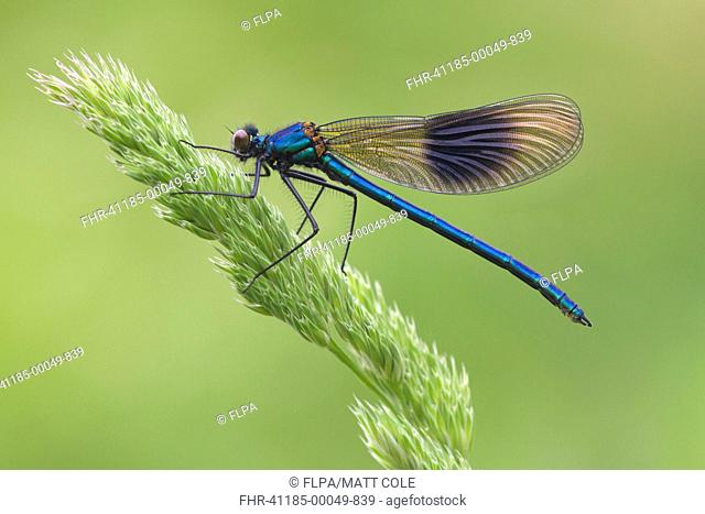Banded Demoiselle (Calopteryx splendens) adult male, resting on grass flowerhead, Leicestershire, England, May