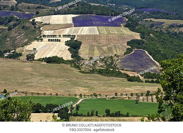 Lavender crops, Thoard village. Alpes-de-Haute-Provence, France
