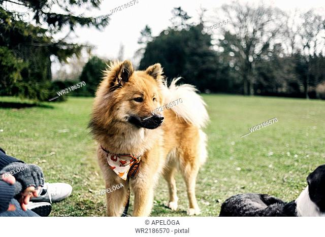 Eurasier looking away while standing in park