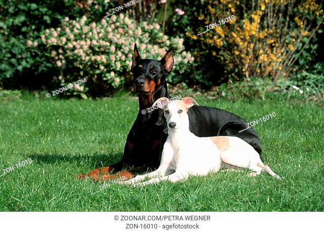 Dobermann Pinscher and Whippet, 5 month old  /  Dobermann und Whippet, 5 Monate alt  /  [Saeugetiere, mammals, animals, Haushund, domestic dog, Haustier